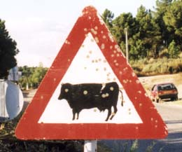 Cow from north of Bragança